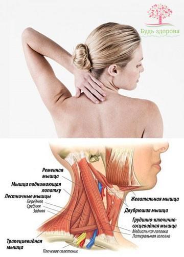 физическое строение шеи