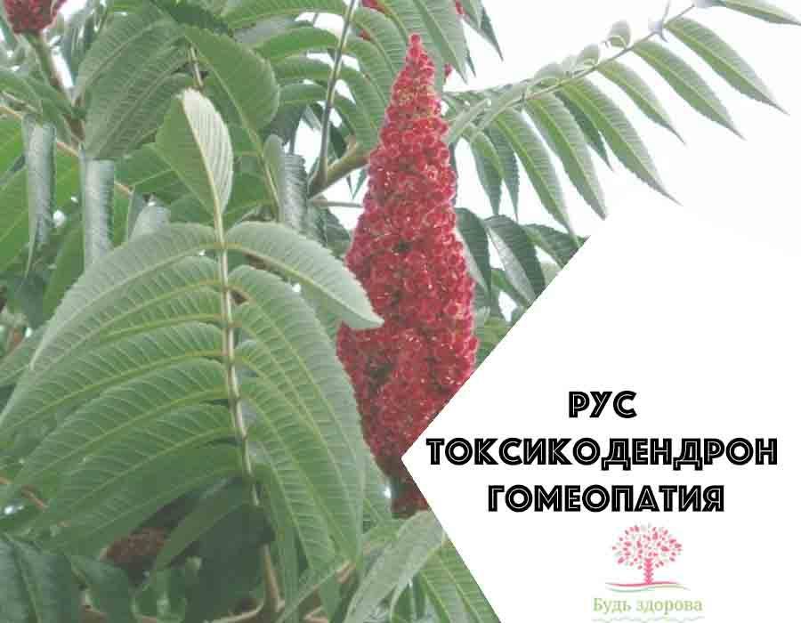 Рус токсикодендрон гомеопатия